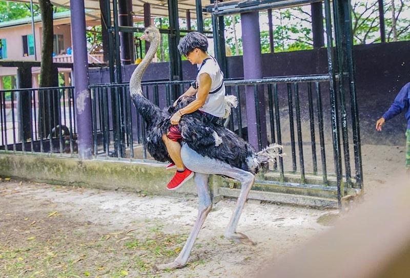 Trò chơi cưỡi đà điểu ở khu du lịch sinh thái Vườn Xoài