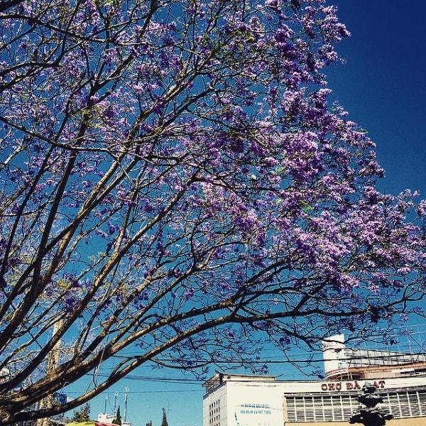 Tháng 3 - mùa hoa phượng tím ở Đà Lạt