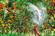 Điểm độc đáo ở vườn trái cây Lái Thiêu hút hồn du khách