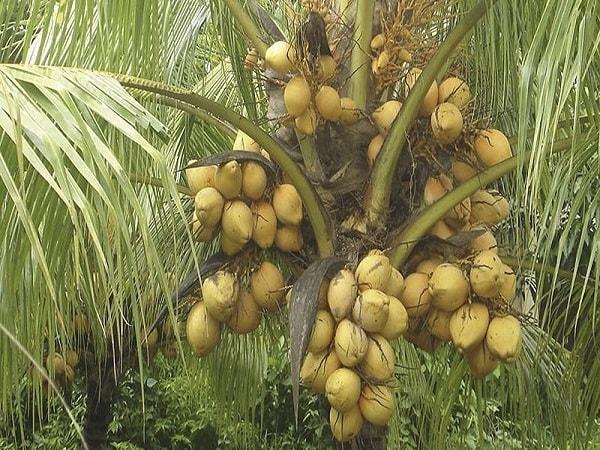 Dừa Bến Tre có thể tạo thành nhiều món ăn khác nhau