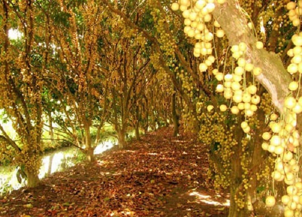 Vườn cây Trái Cái Mơn